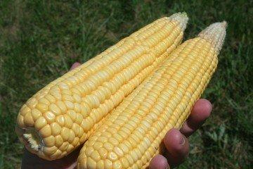 Pickaway Co corn