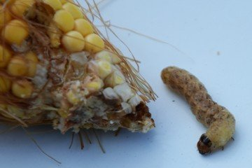 Western bean cutworm in Montgomery Co. corn