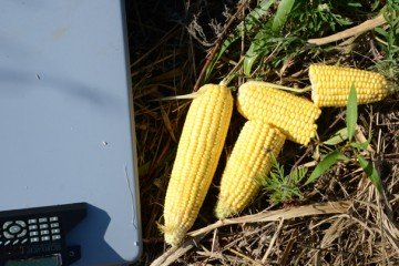 The consistency of this Shelby Co. corn yielded big