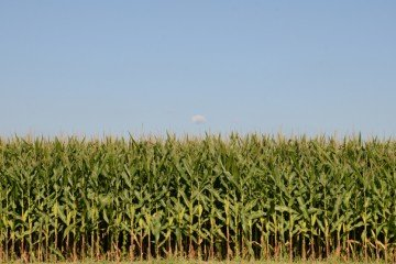 Warren Co. corn