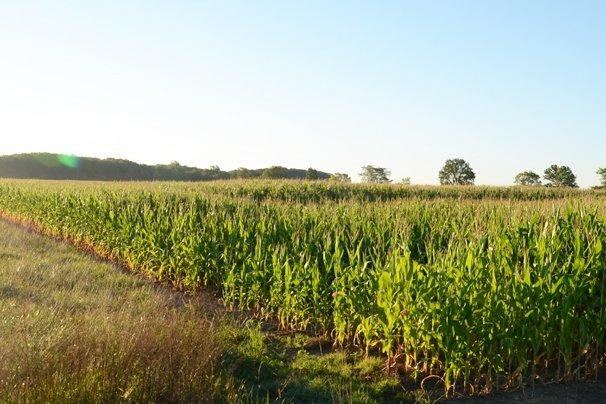 Williams Co. corn