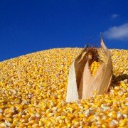 100_5259_-_horizontal_corn_pile_-_under_200