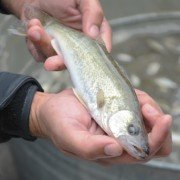 This young walleye needed a safe place to hide when it was smaller, such as the Blausey wetland in Ottawa County.