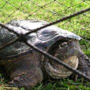 This snapping turtle was not quite a keeper.