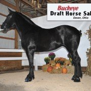 The 2015 Fall Buckeye Draft Horse Sale top-seller was a three-year-old Percheron mare, Top O' The Hills Alexandria, consigned by Aden Swartzentruber, Fredericksburg, Ohio. She sold for $20,000 to Zubrod's Percherons, Guthrie, Okla. Photo courtesy of Wade Wilcox, of Amish Country Images, Berlin, Ohio.