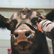 Fair livestock