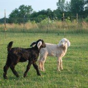Land O'Lakes_Kid Goats1