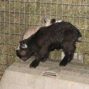 Bonkers goat3