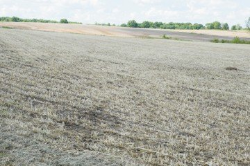 This recently harvested field of triticale was ready for soybean planting in mid-May.
