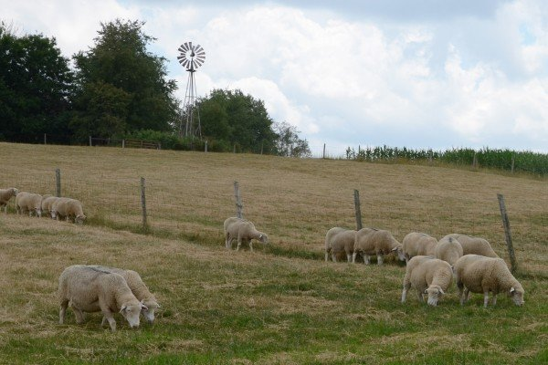 Sheep on the farm of Leroy Kuhns