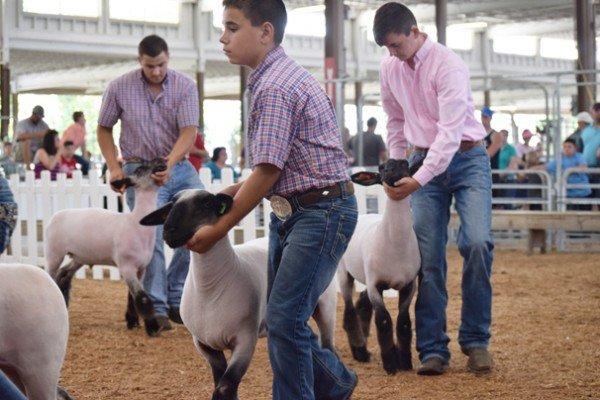 Junior exhibitors walking their market lambs during the market lamb show