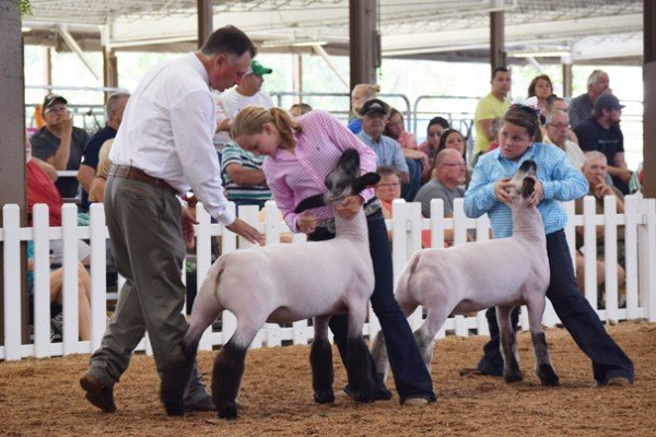 Paige Pence and Bailee Amstutz prepare for judging during the Hampshire market lamb show