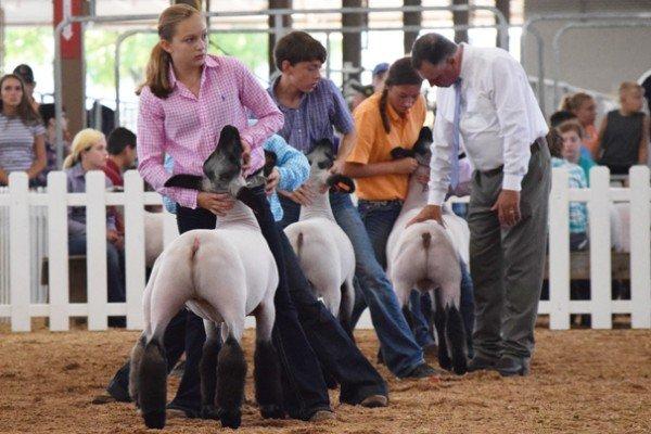 Three junior exhibitors during the market lamb show