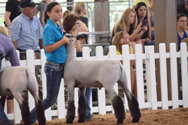 Elizabeth Shatto, 12, Shelby Co, sets up her market lamb