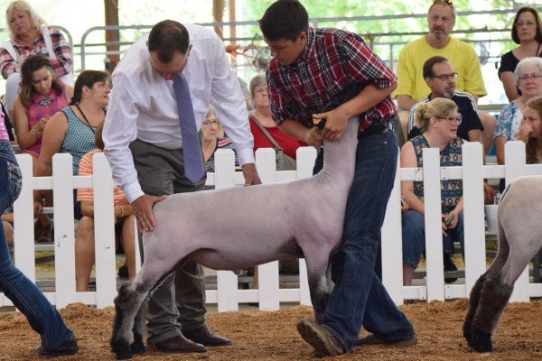 Joel Overmyer, 14, Lucas Co. sets up his Hampshire lamb for the judge