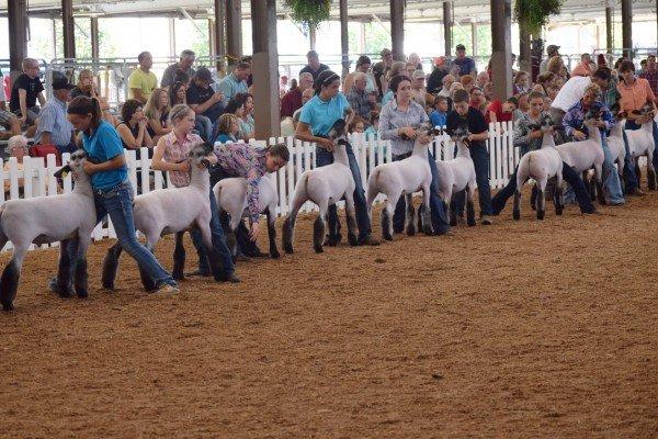 Market lamb exhibitors line up for judging