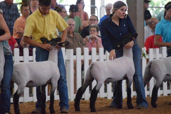 Hunter Frobose, 18, Wood Co. sets up her Suffolk market lamb