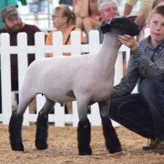 Adam Bensman, 13, Miami Co. prepares his lamb for judging in the Grade market lamb class