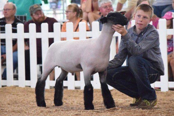 Adam Bensman, 13, Miami Co. prepares his lamb for judging in the Grade market lamb class