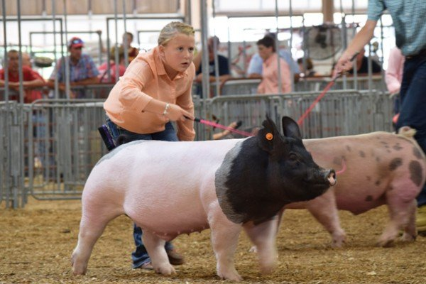 Cassidy Lusk, 10, Clark Co. drives her dark crossbred market barrow for the judge