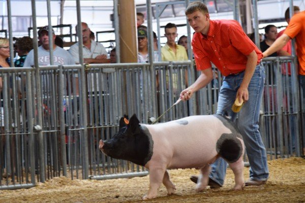 Lucas Buehler, 18, Shelby Co. shows his dark crossbred market barrow