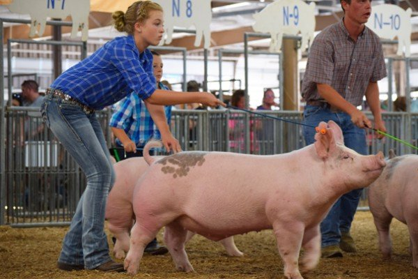 Lydia Henry, 14, Clark Co. shows her light crossbred market barrow