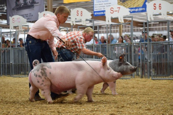 Two junior fair exhibitors are neck to neck in the final drive of the light crossbred barrow show