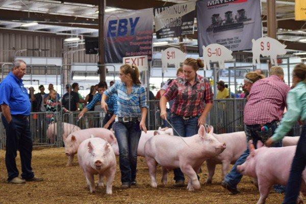 Junior fair exhibitors show their Yorkshire market hogs
