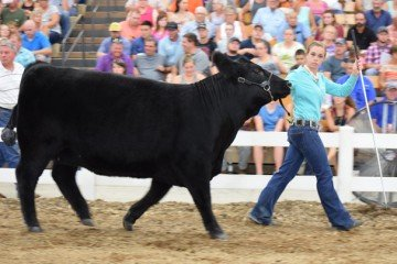 Hannah Topmiller from Warren County is one example of the expanding number of youth exhibitors being highlighted in new programs at the Ohio State Fair. Topmiller was the overall Beef Outstanding Breeding Exhibitor. Photo by Meghan Bruns.