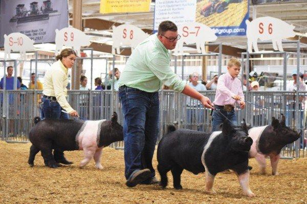 Junior fair exhibitors show in the hampshire barrow show