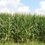 Montgomery Co. corn