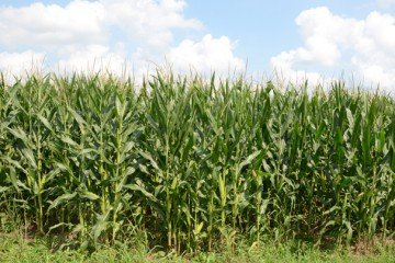 Montgomery Co. corn