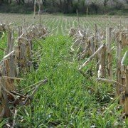 sloans-cover-crop-in-corn-stubble