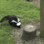 The skunk rightfully commands respect in the rural landscape. Photo by ODNR Division of Wildlife.