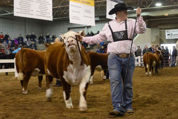 Kyle Piscione from Medina had the third overall Hereford Heifer.