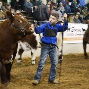 Logan Schroeder from Defiance County maneuvers his Shorthorn steer.