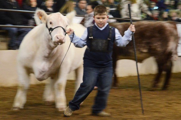 Carter McCauley from Guernsey County won this class with his Shorthorn steer.
