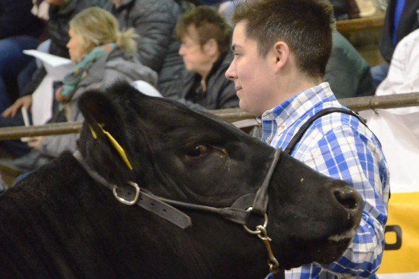 Justin Miller from Lake County watches the judge with his Maine heifer.