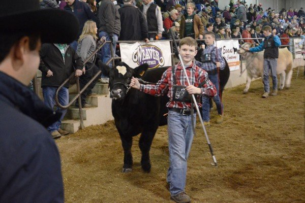 Jacob Keener watches the judge closely with his Simmental steer.