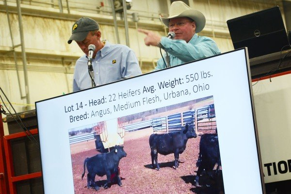 There was a lively video auction feeder cattle sale.