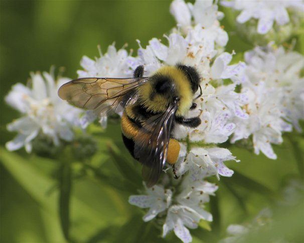 Rusty patched bee. Photo by FWS.
