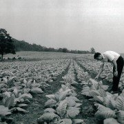 Assistant State Conservationist James S. Bennett checks out a Highland County tobacco crop in 1967. Photo provided by Highland SWCD.