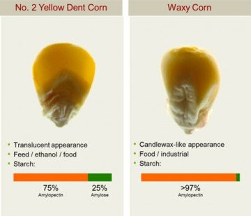 crispr-waxy-corn