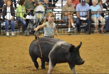 Adalynn Achtermann age 4 showed her Hampshire Gilt  at the Clinton County Fair.  Photo by Kayla Alexander.