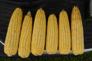 Auglaize Co. corn