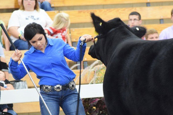 Lori Millenbaugh, Crawford Co., sets the legs of her steer during Showmanship.