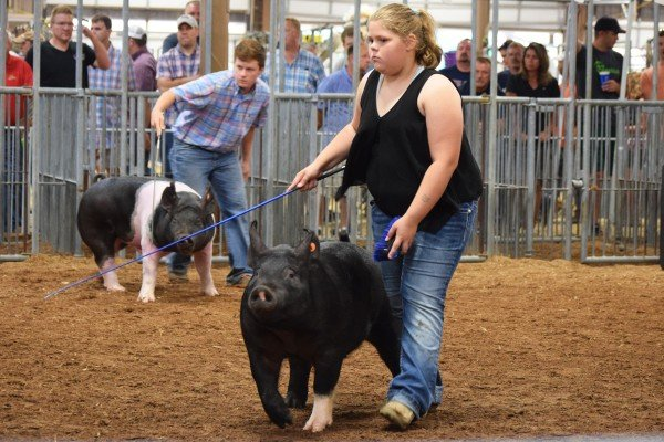 Marin Argabright, Jackson Center, starts working her hog to the holding pen.