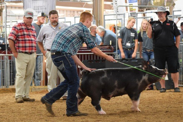 Levi Stauffer, Mt. Blanchard, shows off his spotted barrow to the judges.