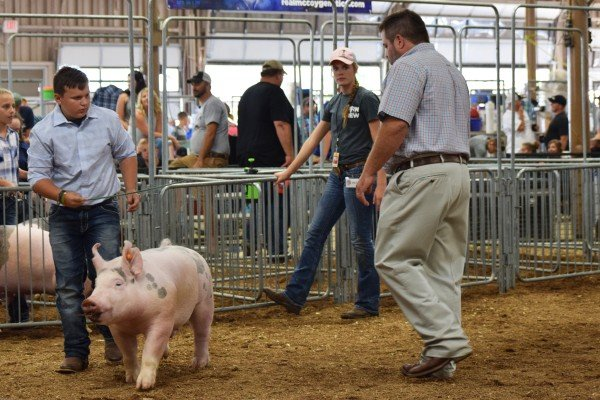 Ethan Wendt, Dublin, drives his hog in front of the judge.