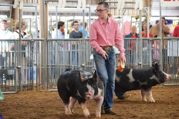 Zander Ivey, Bloomingburg, drives his Berkshire Barrow in front of the judge.